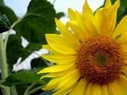 Sunflower Picture #1